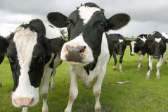 Mucche in bianco e nero. Immagini Stock