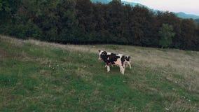 Mucche in bianco e nero che camminano a partire dalla macchina fotografica su un campo verde con un bello Mountain View archivi video
