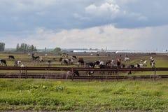 Mucche in bianco e nero nel campo Mucche su un campo verde Immagine Stock Libera da Diritti