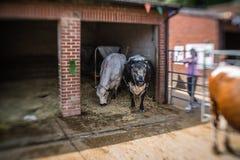 Mucche in bianco e nero su un'azienda agricola fotografie stock