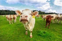 Mucche in Boemia del sud Fotografia Stock