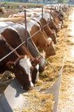 mucche Brown-bianche che mangiano fieno Immagini Stock