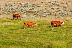 Mucche bruno-rossastro e bianche fotografie stock libere da diritti