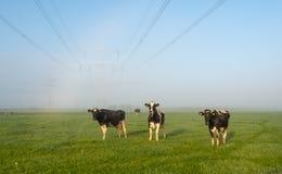 Mucche che aspettano il sole su erba rugiadosa Immagini Stock
