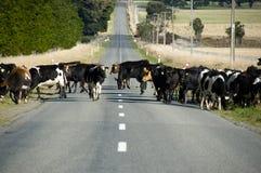 Mucche che attraversano strada Fotografie Stock Libere da Diritti