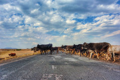 Mucche che attraversano strada Fotografia Stock Libera da Diritti