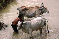 Mucche che bagnano nel fiume Fotografia Stock