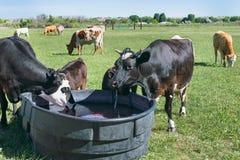 Mucche che bevono alla depressione in pascolo fotografia stock libera da diritti