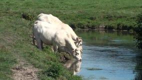 Mucche che bevono in un fiume archivi video
