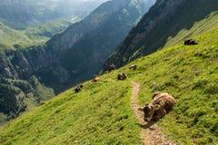 Mucche che bloccano traccia di camminata durante l'aumento dell'alta montagna in svizzero A Immagine Stock Libera da Diritti