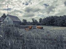 Mucche che camminano felicemente nel loro pascolo Fotografie Stock Libere da Diritti