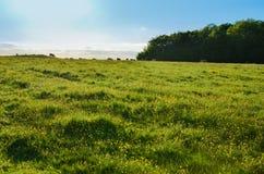 Mucche che camminano nell'orizzonte distante in un campo fertile di estate Immagini Stock Libere da Diritti