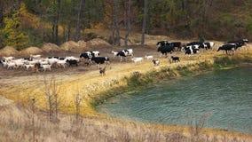 Mucche che camminano sul bello paesaggio della natura archivi video