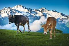 Mucche che camminano sul prato alpino Paesaggio di ESTATE Immagine Stock