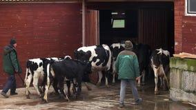 Mucche che entrano nella stalla all'azienda agricola crescente archivi video