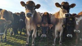 Mucche che esaminano la macchina fotografica Immagini Stock Libere da Diritti