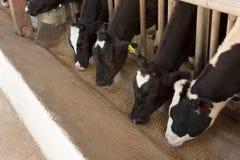 Mucche che mangiano alimento Immagini Stock