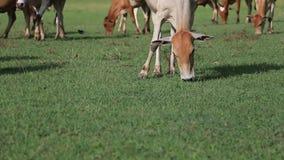 Mucche che mangiano erba stock footage