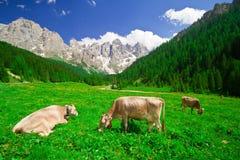 Mucche che mangiano erba in un giacimento della montagna Fotografia Stock