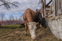 Mucche che mangiano fieno Fotografia Stock