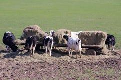 Mucche che mangiano fieno Fotografie Stock