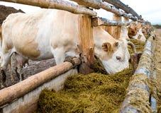 Mucche che mangiano fieno dalla cremagliera di alimentazione Immagine Stock