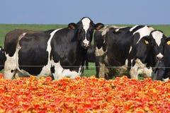 mucche che mangiano i tulipani fotografie stock libere da diritti