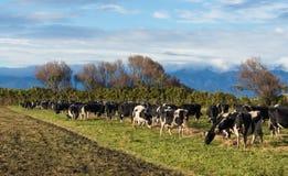 Mucche che ottengono alimentazione immagini stock libere da diritti