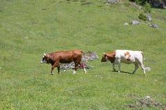 Mucche che pascolano nelle terre di pascolo: Paesaggio italiano delle alpi delle dolomia Fotografie Stock Libere da Diritti