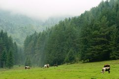 Mucche che pascolano su un prato nebbioso Fotografia Stock