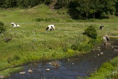 Mucche che pascono fotografie stock libere da diritti
