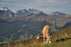 Mucche che pascono Fotografia Stock