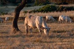 Mucche che pascono Immagini Stock Libere da Diritti
