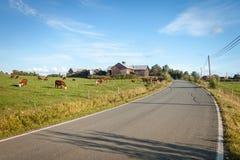 Mucche che pascono fotografie stock