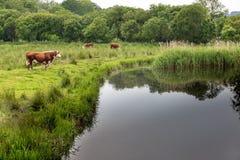 Mucche che pascono Immagine Stock