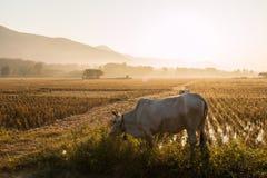 Mucche che pascono Fotografia Stock Libera da Diritti