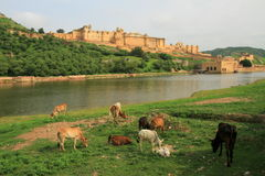 Mucche che pascono dal lago Maota, davanti ad Amber Fort, Jaipur, Ragiastan, India Fotografie Stock