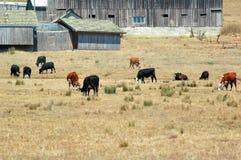 Mucche che pascono davanti alle stalle fotografie stock