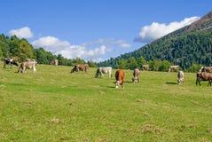 Mucche che pascono in dolomia del pascolo Fotografie Stock