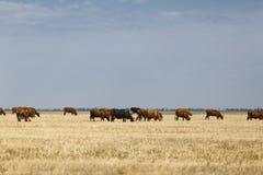 Mucche che pascono Mucche domestiche su un fondo rurale del prato Bella campagna Concetto di produzione lattiera Copi lo spazio Fotografie Stock Libere da Diritti