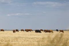 Mucche che pascono Mucche domestiche su un fondo rurale del prato Bella campagna Concetto di produzione lattiera Copi lo spazio Immagine Stock