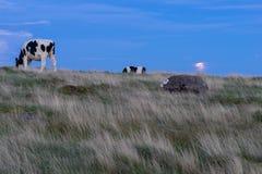 Mucche che pascono durante le sorgere della luna immagine stock