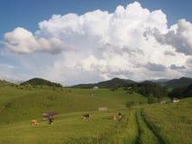 Mucche che pascono e vecchie case di legno in montagne rumene immagine stock libera da diritti