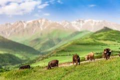Mucche che pascono in montagne Fotografie Stock