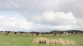 Mucche che pascono nei pascoli del terreno coltivabile in Nuova Zelanda Fotografia Stock