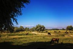 Mucche che pascono nei prati, contro il contesto delle alte montagne coperte in nuvole bianche immagine stock libera da diritti