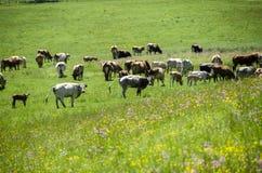 Mucche che pascono nel campo immagine stock