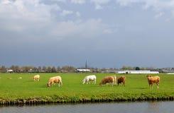 Mucche che pascono nel campo Immagine Stock Libera da Diritti