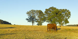 Mucche che pascono nel Cile Immagine Stock Libera da Diritti