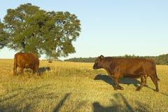 Mucche che pascono nel Cile Fotografia Stock